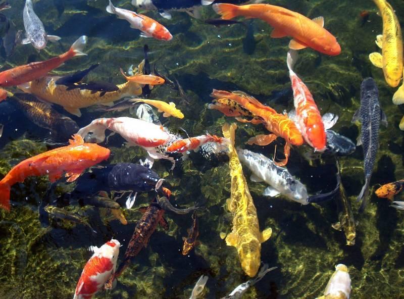 Hồ Cá Koi Nhật Bản Quận 9