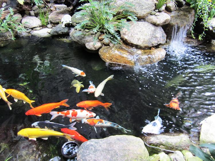 Hồ Cá Koi Nhật Bản Quận Thủ Đức