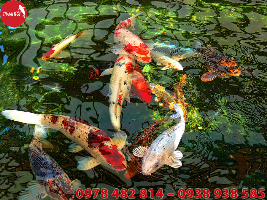 Hồ Cá Koi Nhật Bản tỉnh Sóc Trăng, ho ca Koi Nhat Ban tinh Soc Trang