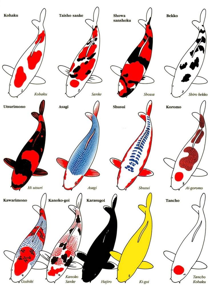 phân biệt màu sắc các loại cá koi